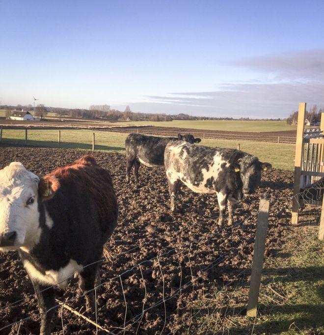 Køer på Møn - en bondegård nær Vordingborg til privat børnepasning