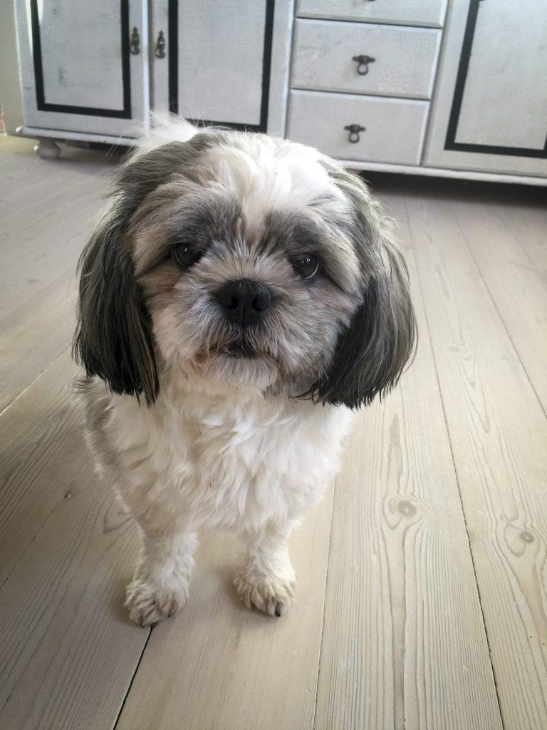 hunden Theo fra Lundby